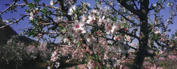 Almond Trees in Bloom is one of the prettiest landscapes in Majorca